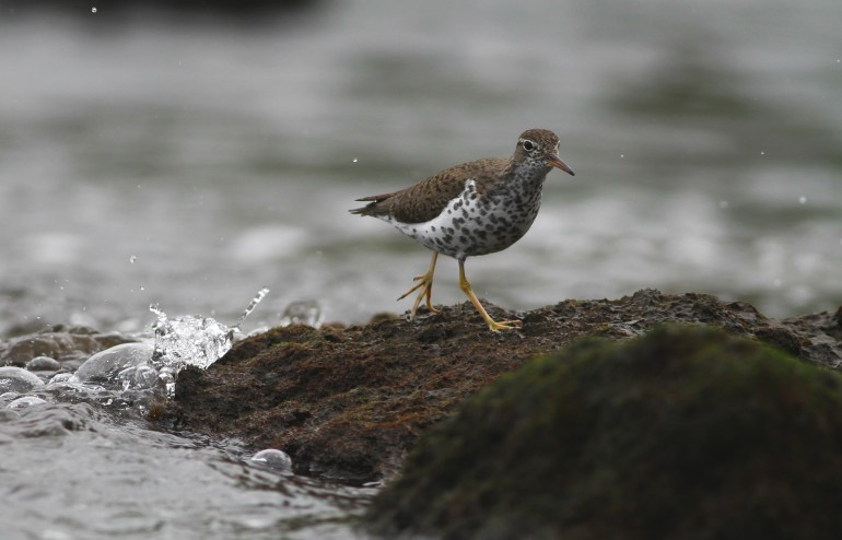 Spotted Sandpiper on Mosteiros